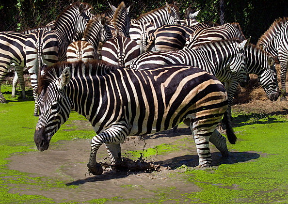 drunk man found with zebra in truck