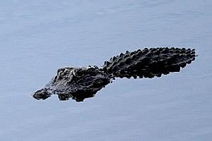 Alligators found 'guarding' pot growing operation