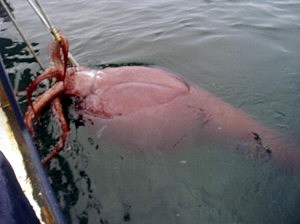 Rare Giant Squid Hooked Near Antartica