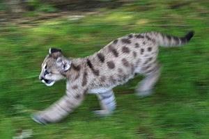 Cougar captured in Vancouver backyard!