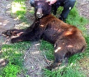 Black bear shot near Benton City Tuesday