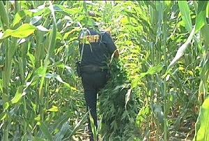 Franklin County pot growing operation busted