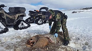 Dead elk poached in Oregon. (Oregon State Police, Department of Fish and Wildlife)